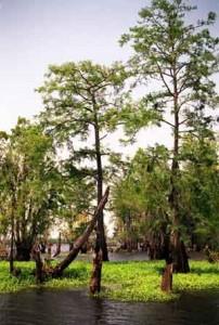 cajun-country-swamp