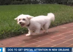 This little dog, Fabio, is coming to New Orleans to get some new legs.