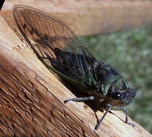 new orleans sounds cicada